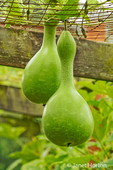 Speckled Swan Gourd, a bottle / birdhouse gourd, growing on an arbor