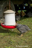 Barred Plymouth Rock chickens eating from chicken feeder of mobile chicken coop, known as the Egg Mobile