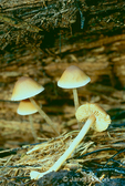 Conifer Psilocybe mushrooms growing on the forest floor