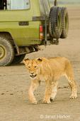 Female lion walking on beach by safari vehicle