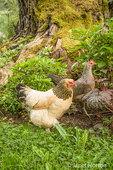 Free-range Buff Brahma and Legbar hens walking around the base of a large tree