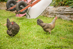 Free-range Maran and unidentified other hen walking in a yard, with two upside-down wheelbarrows in the background