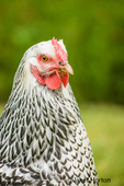 Free-range Silver-laced Wyandotte chicken portrait in a yard