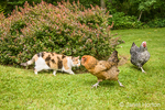 Silver-laced Wyandotte and Ameraucana hens walking by a cat who is ignoring them, in a yard