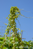 Chinese Yam growing on a teepee trellis