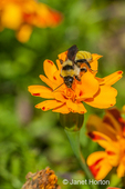 Golden Northern Bumble Bee on a Marigold blossom