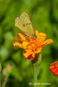 Clouded Sulphur butterfly on a Marigold flower blossom