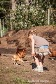 Giirl feeding small green tomatoes to French Colered Range Chickens who are free-ranging