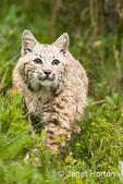 Bobcat walking in a meadow