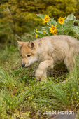 Gray wolf pup walking near his den, exploring the territory