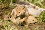 Gray wolf pup walking near his den, exploring the territory,