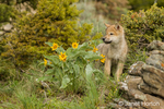 Gray wolf pup standing beside some Mules Ear wildflowers