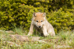 Gray Wolf pup surveying the territory near his den