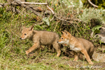 Two gray wolf pups just coming out of their den