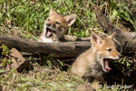 Two gray wolf pups yawning widely at the edge of their den