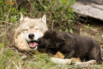 Expectant Gray Wolf pups excitedly soliciting regurgitation by licking and sniffing a mother wolf's muzzle