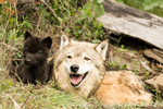 Mother and baby Gray Wolf in a den