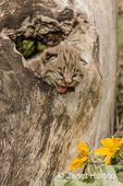 Baby bobcat in a hollow log with Mules Ear wildflowers