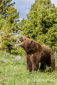 Black bear growling in a meadow