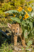 Baby Gray Wolf pup with Mules Ear wildflowers