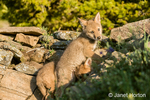 Two baby Gray Wolf pups climbing on rocks