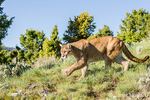 Mountain Lion walking in a meadow
