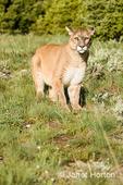 Mountain Lion walking in a meadow