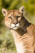 Portrait of a Mountain Lion in a meadow