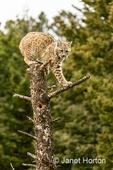 Bobcat on top of a dead tree