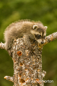 Baby raccoon perched precariously on top of a dead tree