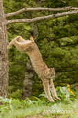 Canada Lynx jumping off of a dead tree