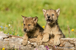 Two Gray Wolf pups looking over log in meadow in Bozeman, MT.