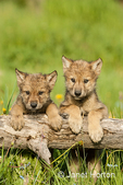 Two Gray Wolf pups looking over log in a meadow