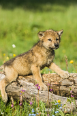 Gray Wolf pup resting on log in spring meadow