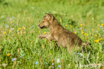Gray Wolf pup playing in meadow