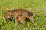 Two Gray Wolf pups playing in meadow