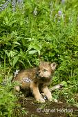 Grey Wolf pup at den entrance