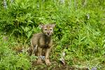 Gray Wolf pup at den entrance