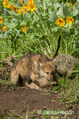Gray Wolf pup at den entrance