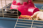 Eight-year old girl  hand-feeding a carrot to her guinea pig to entice it to come out of hiding
