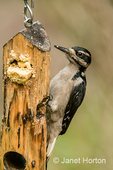 Male Hairy Woodpecker eating from a log suet feeder taken in the backyard