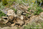Mother and two Gray Wolf pups on rock