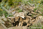 Mother and two Gray Wolf pups on rocks