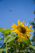Dragonfly in flight over a cheery sunflower growing on a summer day