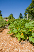 Squash will soon be forthcoming as evidenced by all the yellow blooms in a master gardeners' raised garden