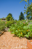 Squash will soon be forthcoming as evidenced by all the yellow blooms in a master gardeners' garden