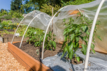 Better Belle sweet pepper growing in a raised bed, with the fabric hoop cover partially open