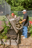Man emptying wheelbarrow of compost into raised vegetable bed, and woman using rake to start to spread it around the bed, to prepare the soil for a new planting in the fall