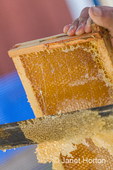 Man using an uncapping fork (honey capscratcher or honey scratcher) on a frame full of honey.  A hot knife misses low spots so you use this tool to puncture holes in the honeycomb.