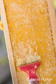Woman using an uncapping fork (or honey capscratcher or honey scratcher) on a frame full of honey.